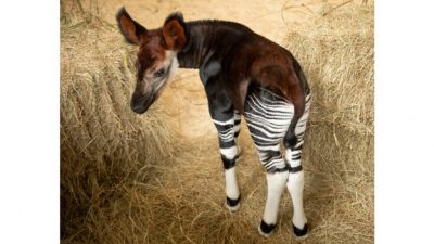 The Okapi Population Gets a Boost at Disney's Animal Kingdom Lodge