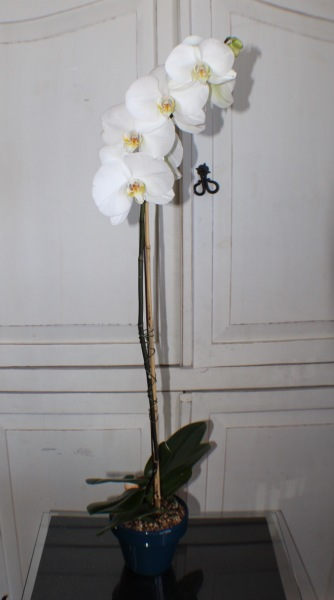 GP-979. Orchid Plant .$65.00