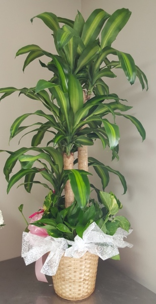 GP-972.Lg Corn Plant.$119.99