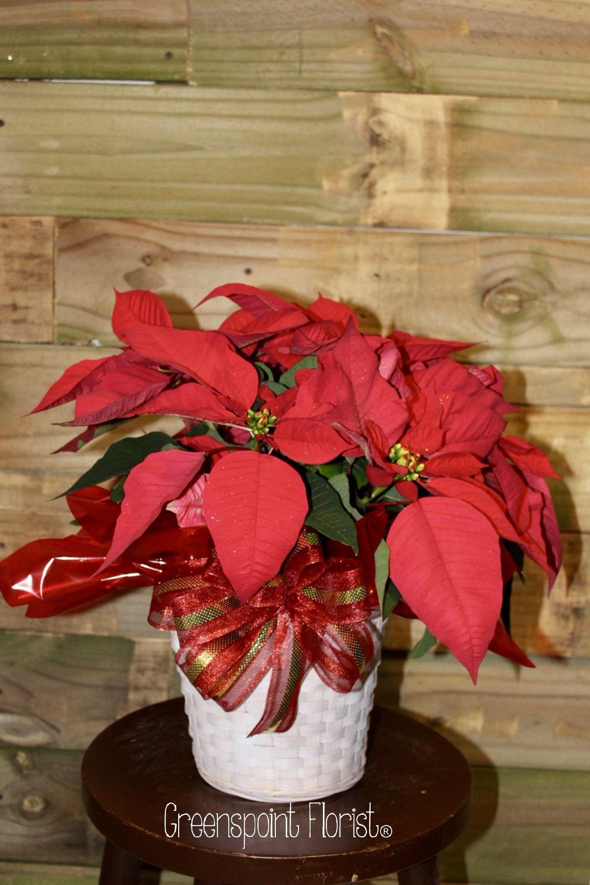 XGP-86.Small Poinsettia Plant. $49.99