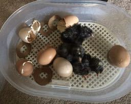 The Chicks Hatched. Now what?