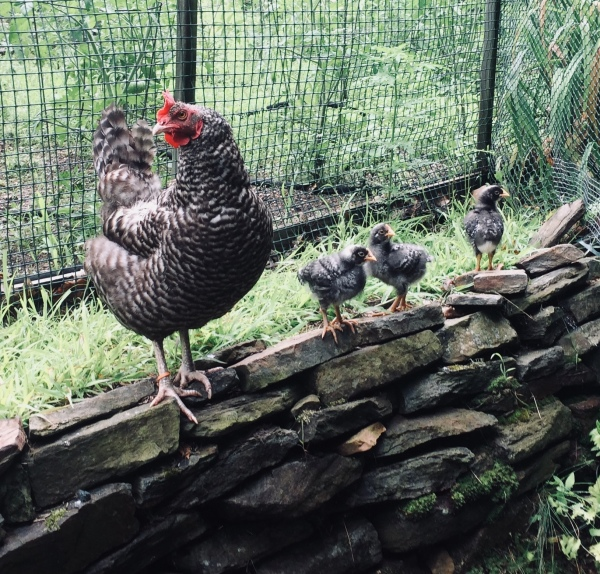 Broody, out with her chicks on the garden wall