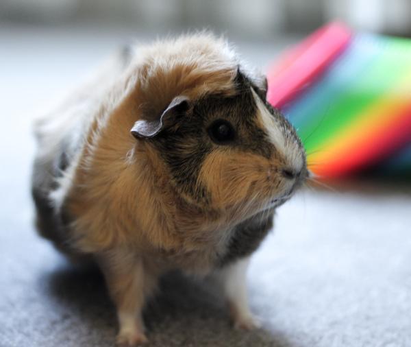 "<img src=""Guinea Pig Photography.Jpeg"" alt="" "" />"