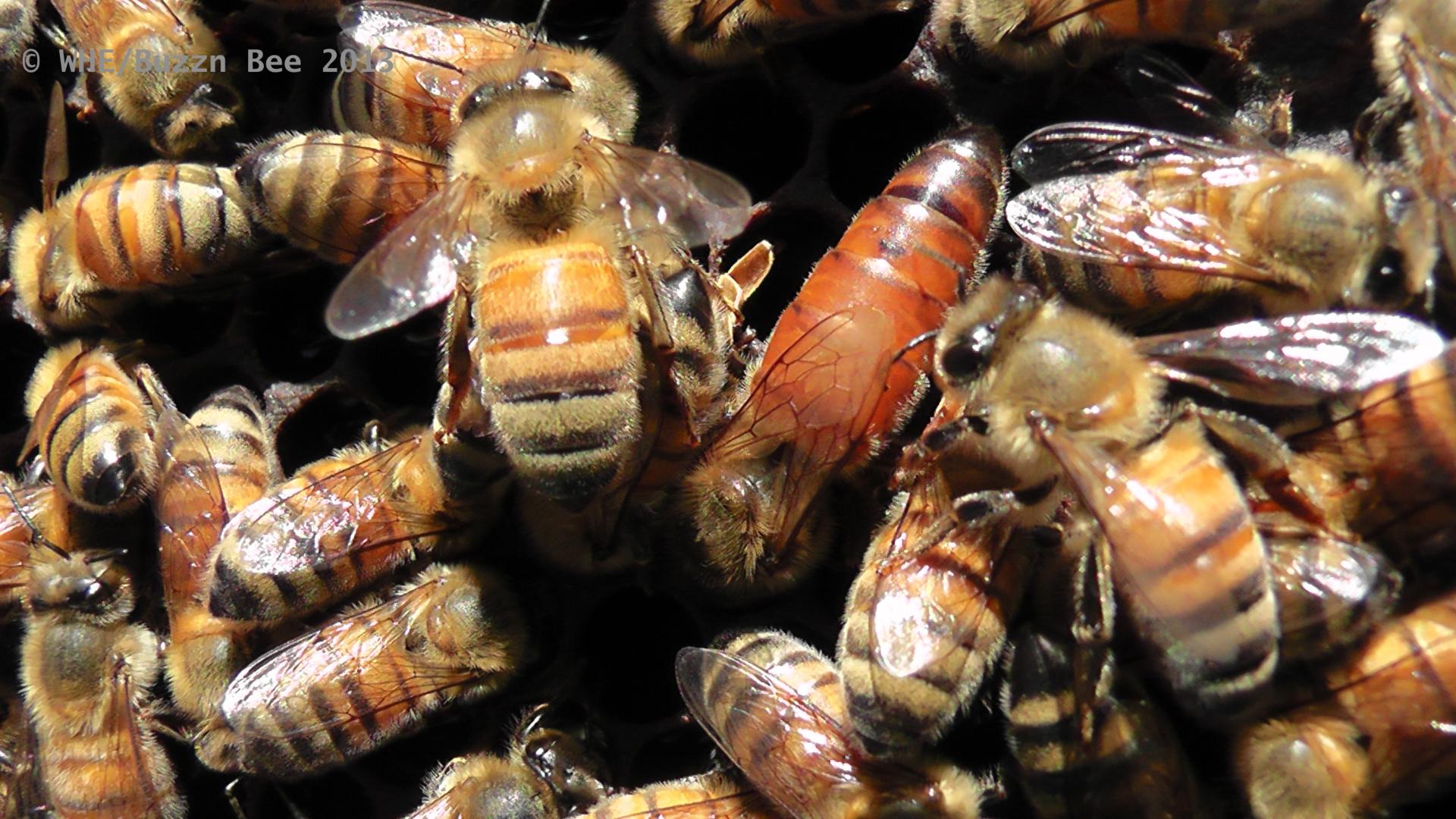 Close up of queen bee
