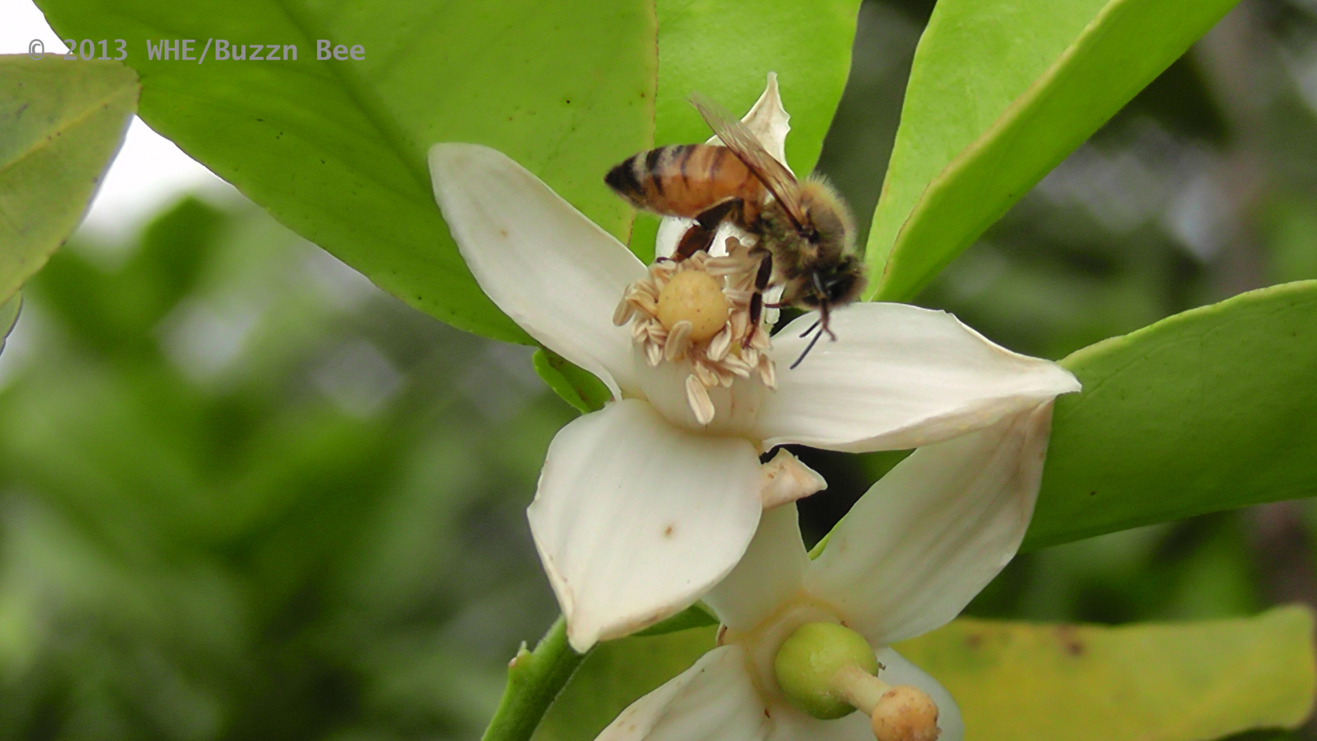 A bee collects pollen and nectar from a flower