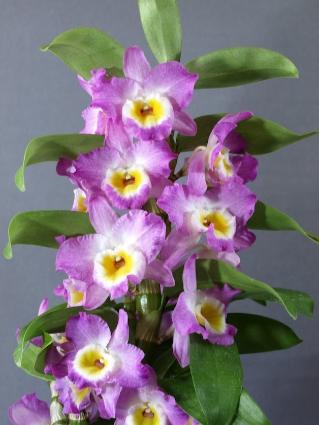Growing Nobile Dendrobiums