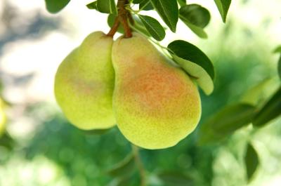 California Pears