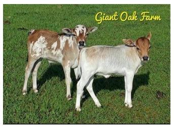 Giant Oak Farm