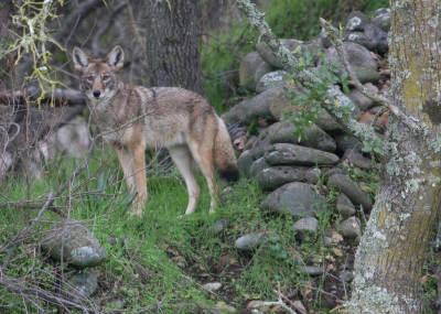 Adopt A Coyote