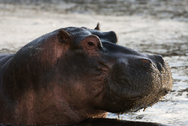 Adopt A Hippopotamus