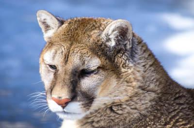 Adopt A Cougar