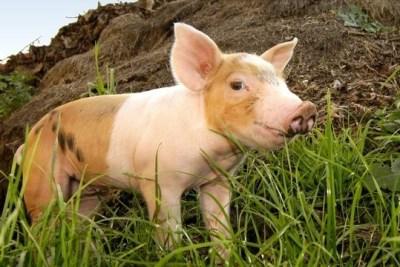 Adopt A Pig