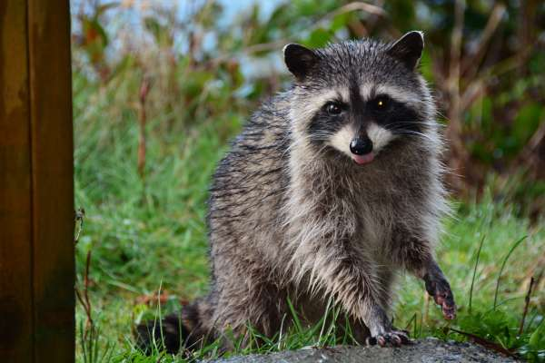 Dealing With Raccoons
