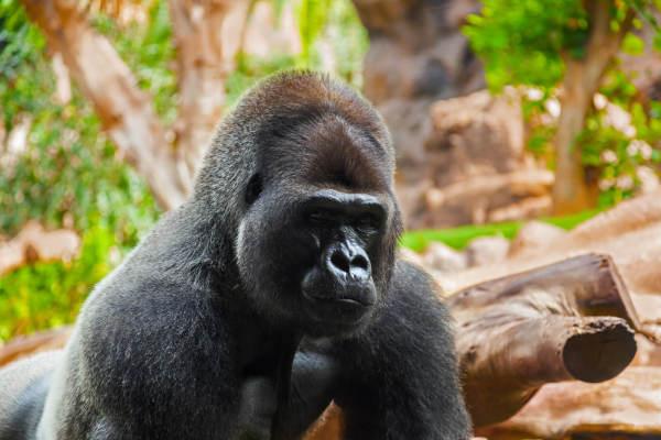 Saving Gorillas From Extinction