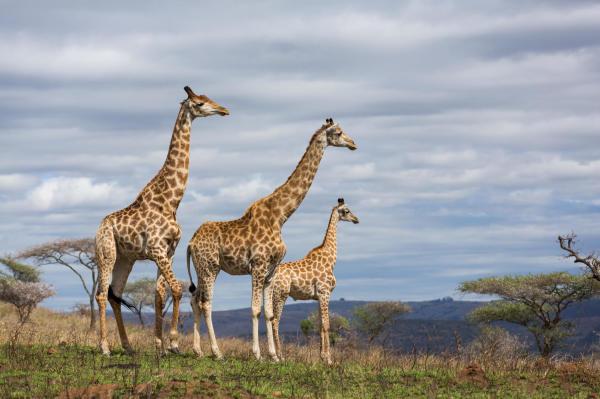 Giraffes In Danger