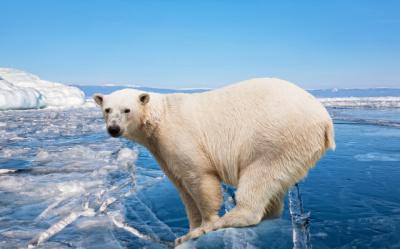 Polar Bears In Danger