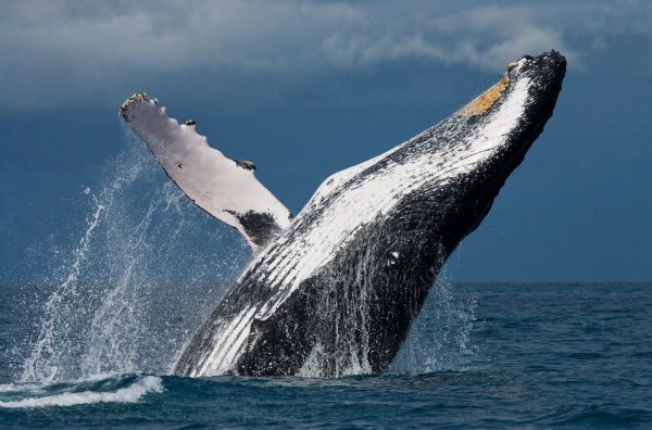 Whales Facing Multiple Threats