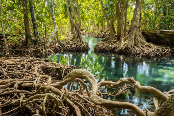 Mangrove Forests Are Suffering