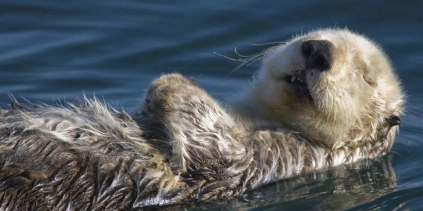 Sea Otters: The Kelp Keystone