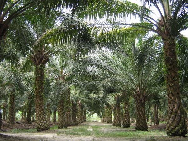 Palm Oil Threats To Forests & Orangutans