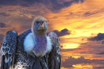 Vultures At Risk