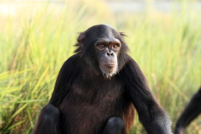 Help Save Chimpanzees