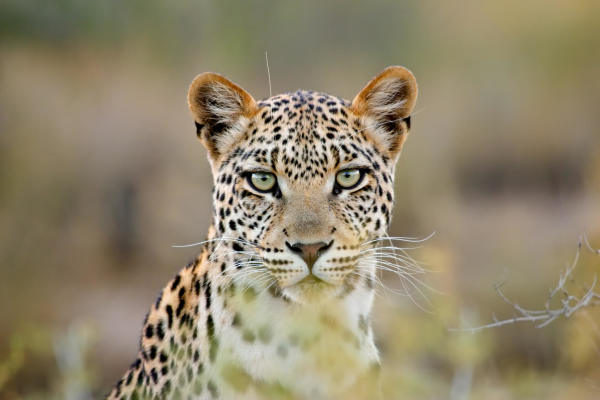 Help Save Leopards