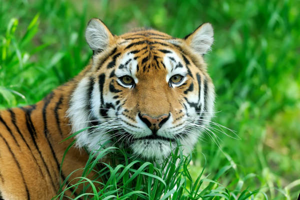 Bringing Tigers Back From The Brink