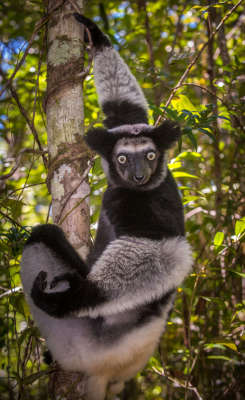 Trouble For Lemurs