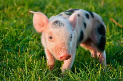 ADOPT A FARM ANIMAL