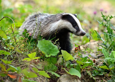 Stop The Badger Culls