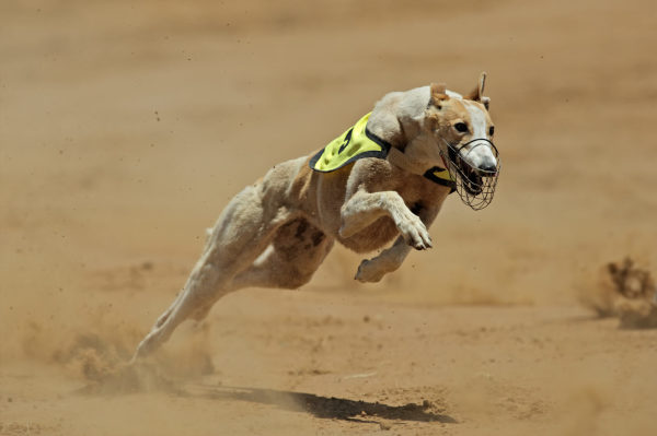 Greyhound Racing Must End