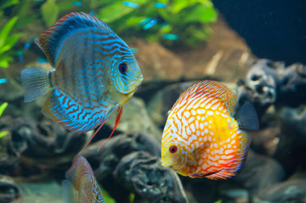 Pet Trade Imports 6 Million Fish Exposed To Cyanide Each Year
