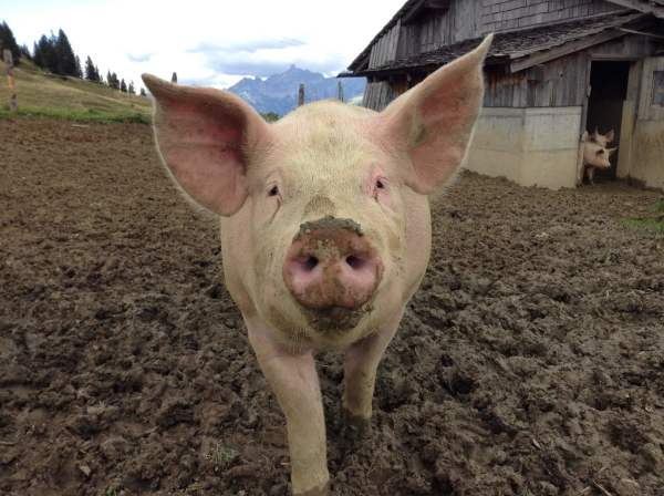 Not Just Grunts: Pigs Have Something To Say