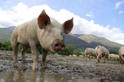 Pigs Are Smart, Emotional, Complex