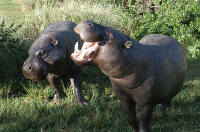 Adopt A Pygmy Hippopotamus