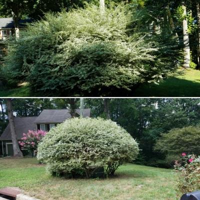 Tree, or Shrub?