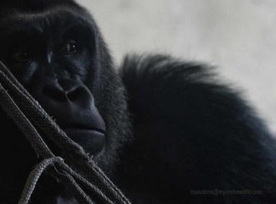 Gorilla at Paignton