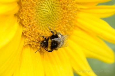Glorious Sunflowers @ Dart's Farm