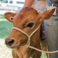 Jersey, calves, cow, cattle, draft