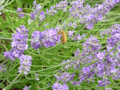 Drying Lavender - A Few Hints and Tricks