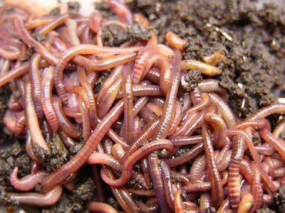 Red Wiggler Worms | The Worm Outlet