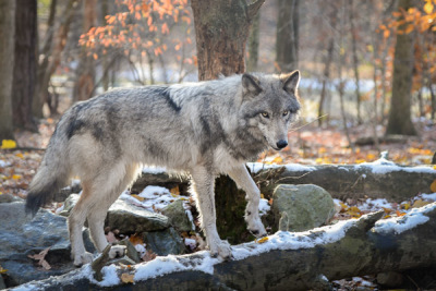 Making a Contribution: The Lakota Wolf Preserve