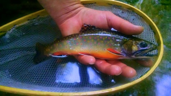 Southern Strain Brook Trout