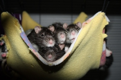 The Hoarders Ratties arrive from California!