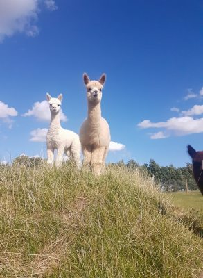 baby alpaca, cute animals, cute, happy, norfolk, loddon, family days out, fun, things to do, things to do in norfolk, country escape, cria, alpaca breeder, alpacas in norfolk,
