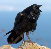 Consider the Raven