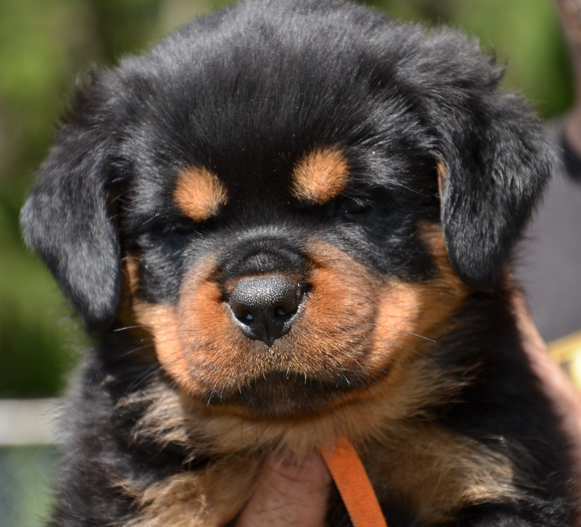CURRENT ROTTWEILER PUPPIES FOR SALE