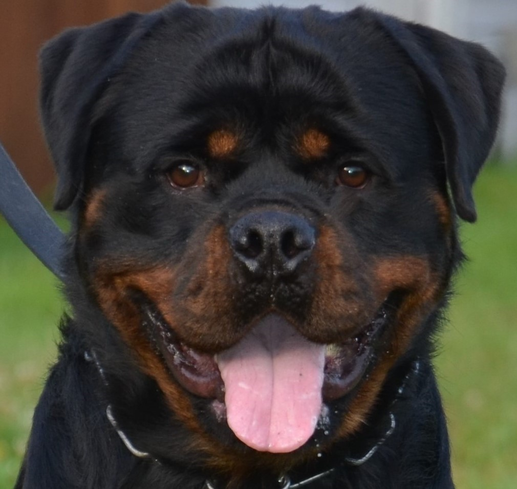 UPCOMING ROTTWEILER LITTERS FOR RESERVATION