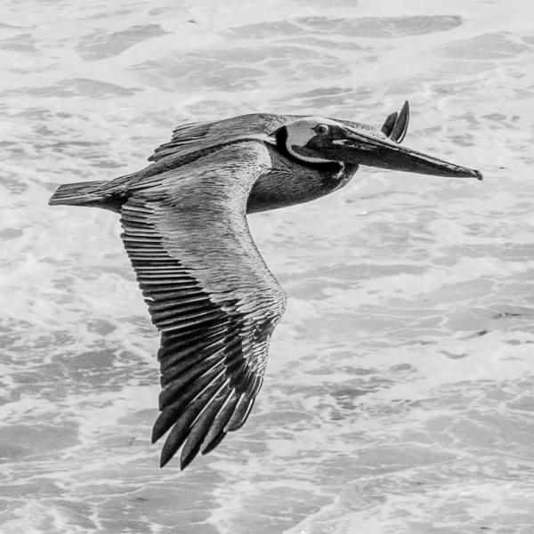 Solo Pelican